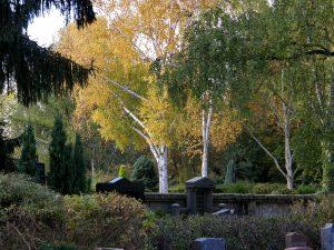 Steingräber in Mitten von herbstlichen Birken im Friedhof Schierstein